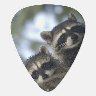 Raccoons Procyon Lotor) of Fish Lake, Central Plectrum