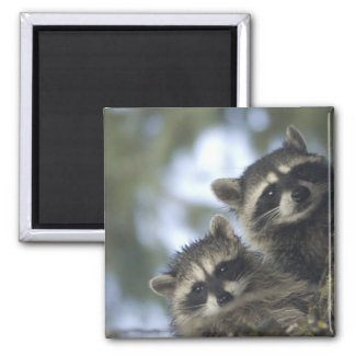 Raccoons Procyon Lotor) of Fish Lake, Central Square Magnet