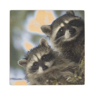 Raccoons Procyon Lotor) of Fish Lake, Central Wood Coaster
