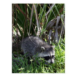 Racoon Baby Postcard
