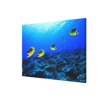 Racoon Butterflyfish Chaetodon lunula), North Canvas Print