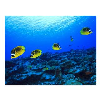 Racoon Butterflyfish Chaetodon lunula), North Postcard