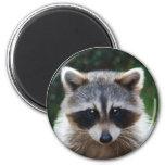 Racoon Coon Wild Animals Wildlife Magnet
