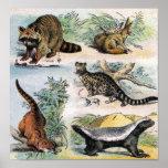 Racoon, Fennec Fox, Coati, Genets & Ratel Poster