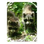 Racoon Habitat Postcard