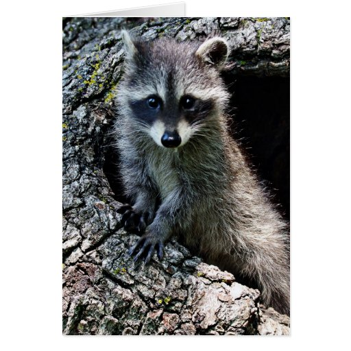 Racoon in the Den Greeting Card