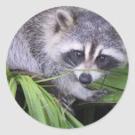 Racoon In The Plants Round Stickers