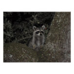 Racoon Poster Print