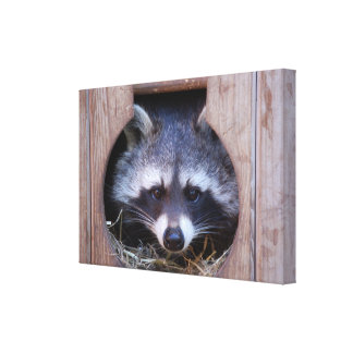 RACOON RACCOON by Jean Louis Glineur Canvas Print