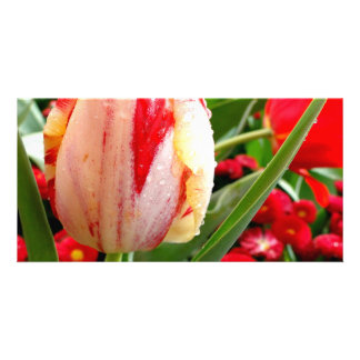 Radiant Red and White Tulip Custom Photo Card