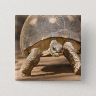 Radiated tortoise, Astrochelys radiata, with a 15 Cm Square Badge