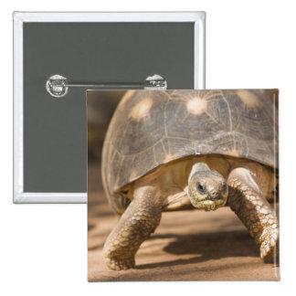 Radiated tortoise, Astrochelys radiata, with a 15 Cm Square Badge