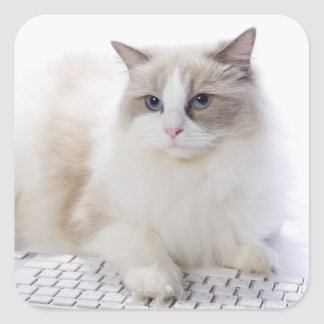 Ragdoll cat on computer keyboard square sticker