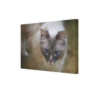 Ragdoll Cat - Photograph on Canvas Canvas Print