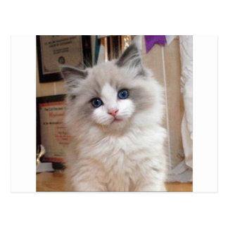 Ragdoll Kitten Cutie Postcard