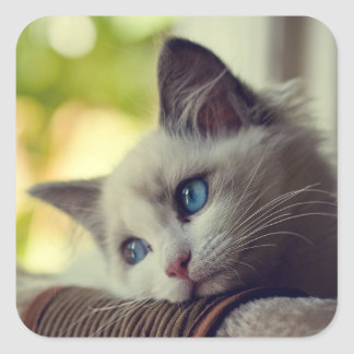 Ragdoll Kitten Looking Out The Window Square Sticker