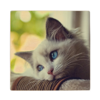 Ragdoll Kitten Looking Out The Window Wood Coaster