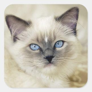 Ragdoll kitten square sticker