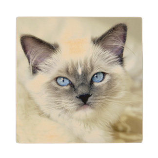 Ragdoll kitten wood coaster