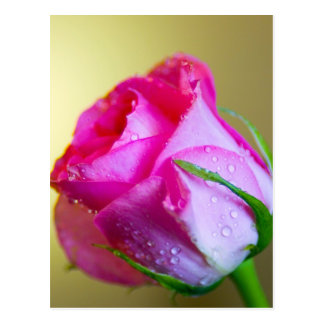 Rain Drop Kisses of Nature on Pink Rose Postcard