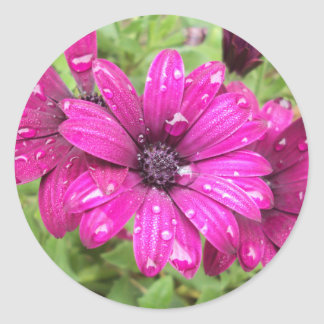 Rain Droplets on Purple Daisies Classic Round Sticker