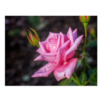 Rain Drops on Pink Rose Postcard