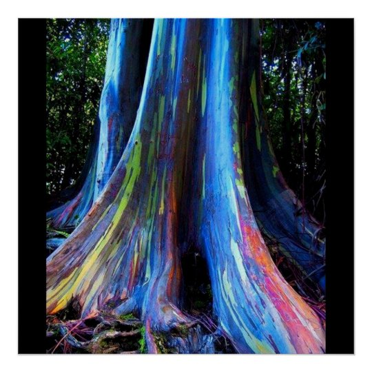 RAINBOW HAWAII EUCALYPTUS TREE poster