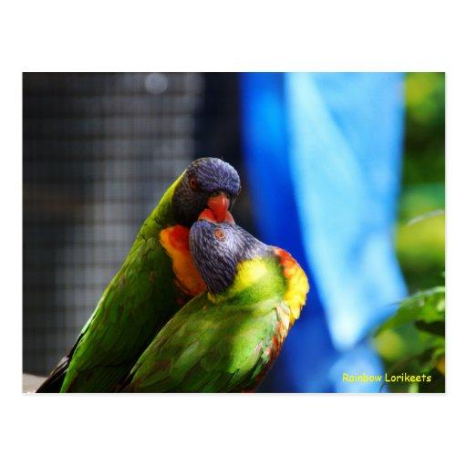 Rainbow Lorikeets Postcard
