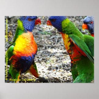 Rainbow Lorikeets Poster