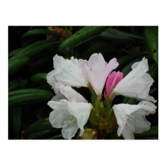 Raindrop on Rhododendrons Postcard