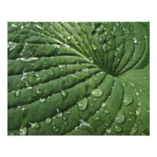 Raindrops on Hosta Leaf Photo Print