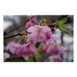 Raindrops on pink cherry blossoms