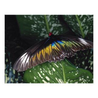 Rajah Brooke's female birdwing, Malaysia Custom Flyer