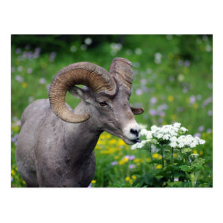 Ram - Smelling the Flowers Post Cards