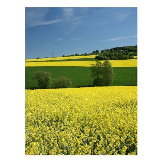 Rapeseed field near Bavenhausen, Germany Postcard