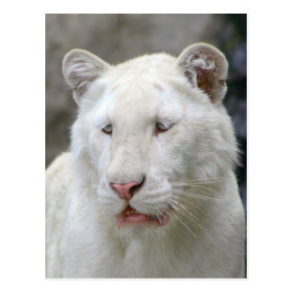 Rare White Tiger Postcard