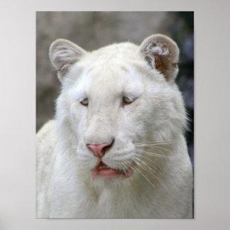 Rare White Tiger Poster Print