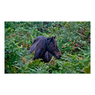 Rare Wild New Forest Pony of Hampshire, England Poster
