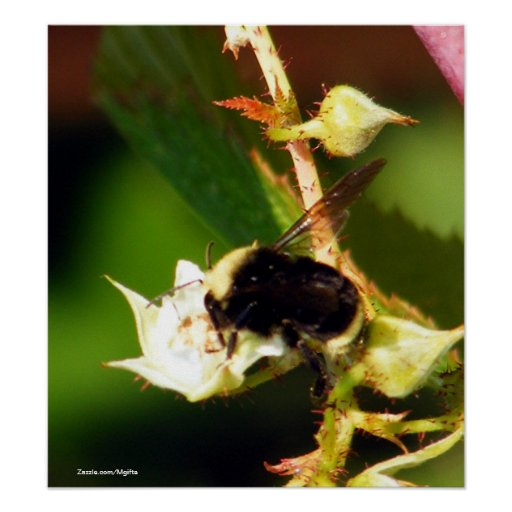 Raspberry Bee Poster
