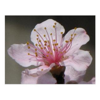 Raspberry Bloom Post Cards