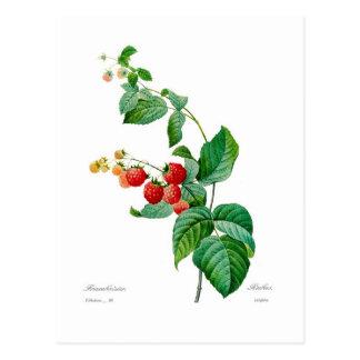 Raspberry Post Card