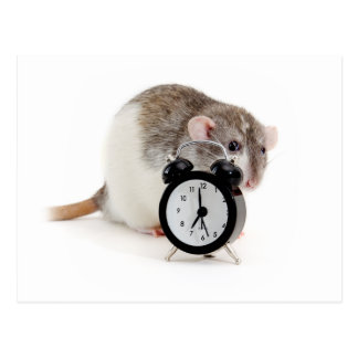 Rat and alarm clock. postcard