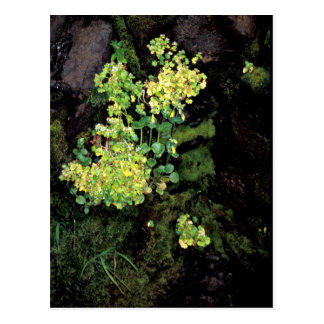 Rat Island wildflowers, Monkey flower, saxifrage Postcard