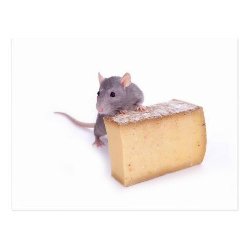 rat with cheese post card