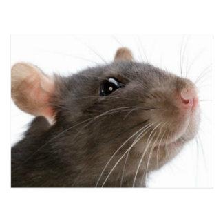 Rats!!! Postcard