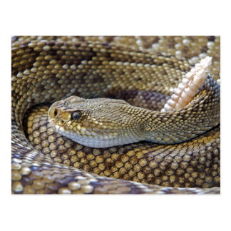 Rattlesnake photo postcard
