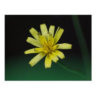 Rattlesnake Weed Yellow Wildflower Floral Postcard