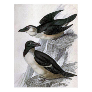 Razorbills Vintage Bird Illustration Postcard