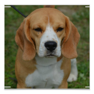 Really Cute Beagle Pup Poster