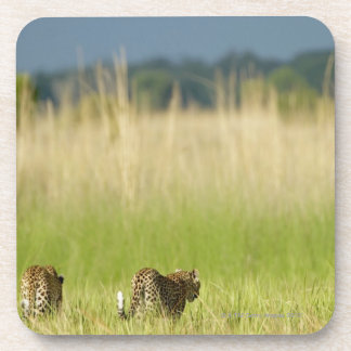Rear view of Leopard (Panthera pardus) and cub Coasters